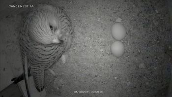 The Lesser Kestrels at the Green Balkans Rescue Center laid their first eggs
