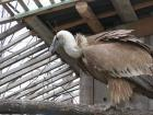 The Griffon vultures in the center lay an egg and copulated for a second year